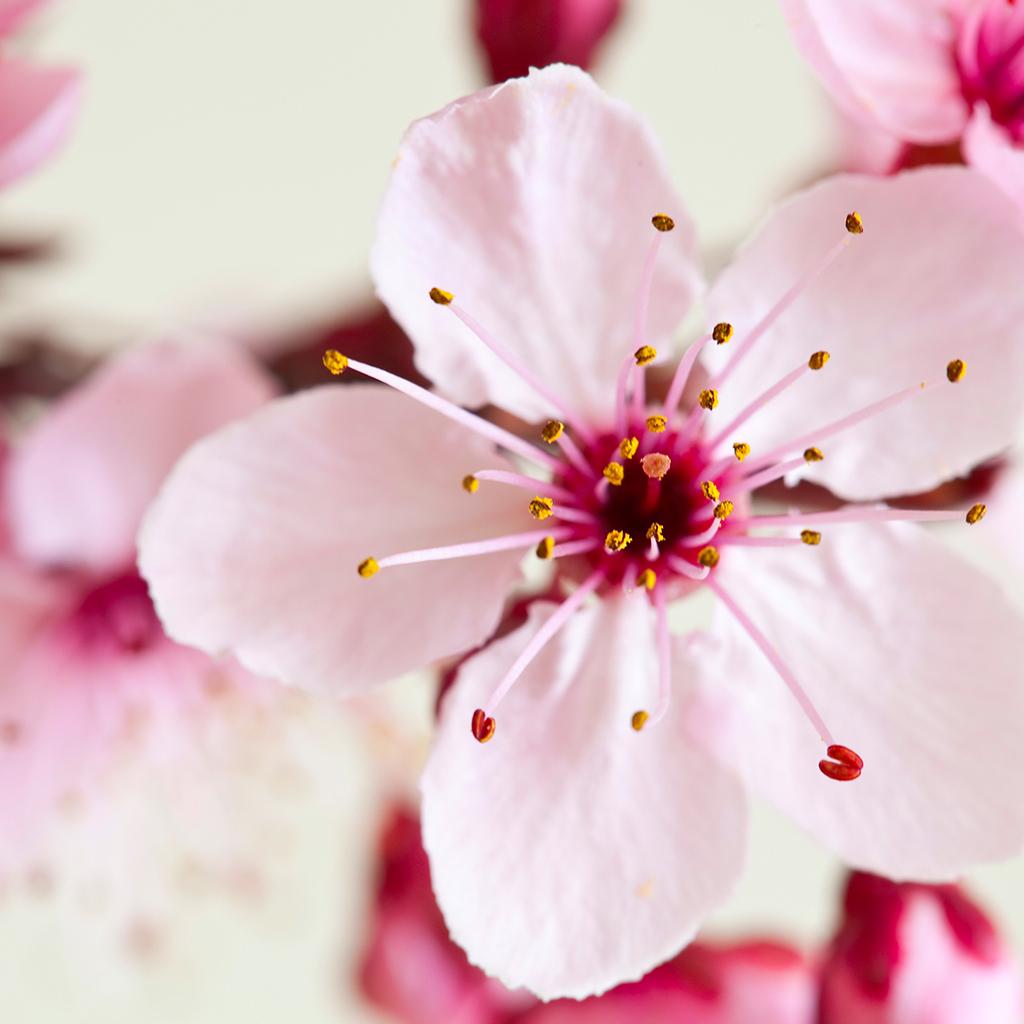 Ảnh bông hoa Anh Đào đẹp