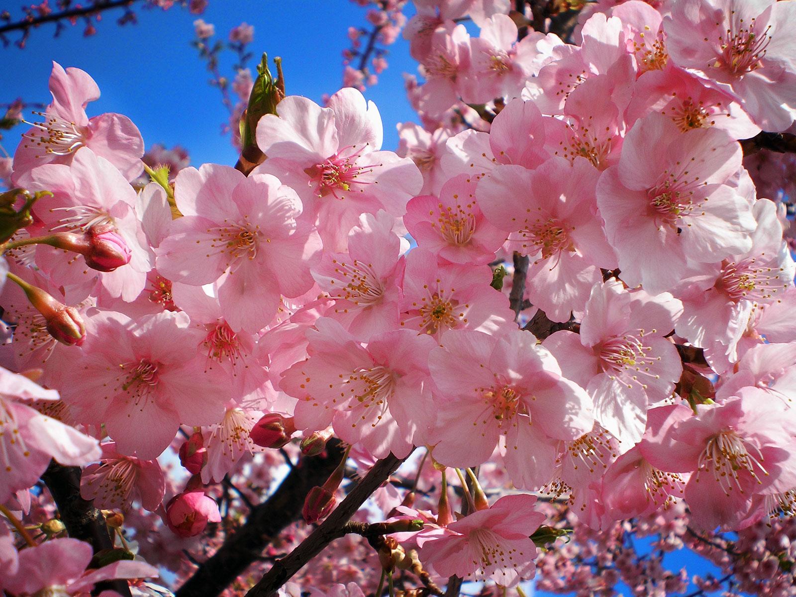 Ảnh cành hoa Anh Đào đẹp nhất