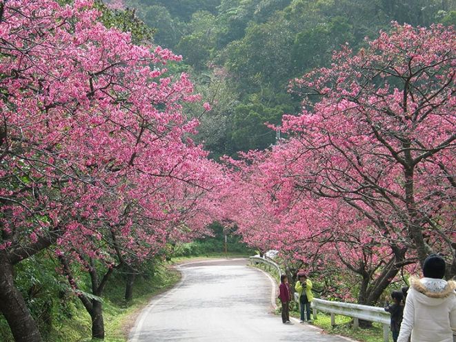 Ảnh cây hoa Anh Đào Nhật Bản đẹp nhất
