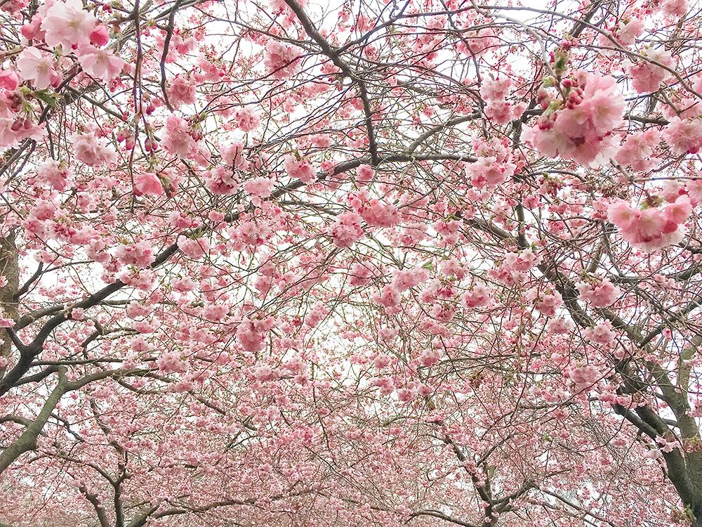 Ảnh hoa Anh đào cực đẹp