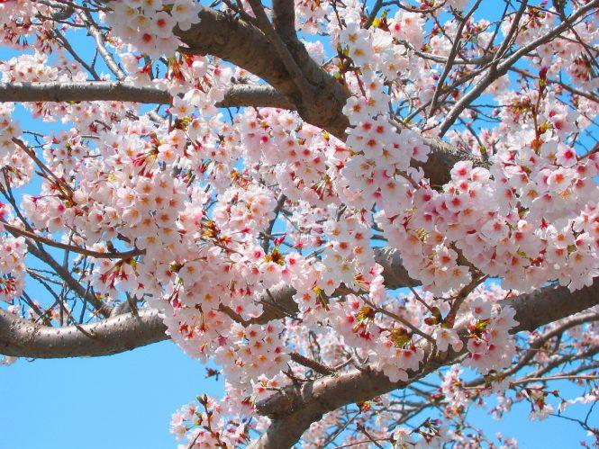 Ảnh hoa Anh đào Nhật Bản cực đẹp