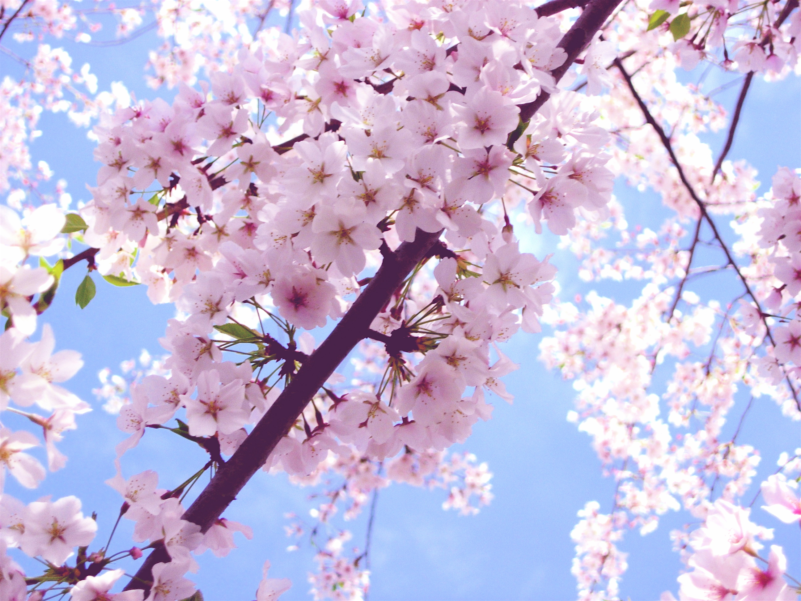 Ảnh hoa Anh đào Nhật Bản đẹp nhất