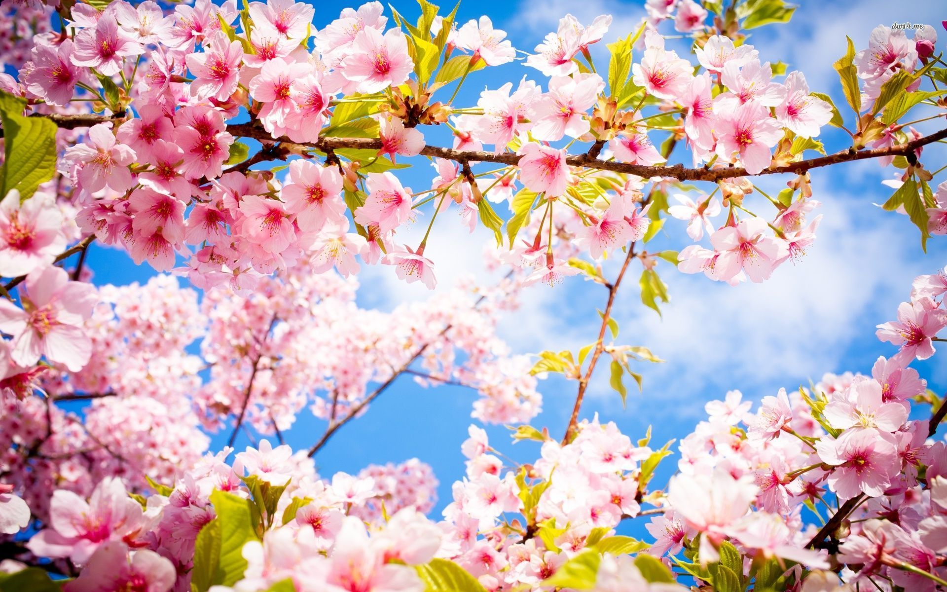 Ảnh hoa Anh đào Nhật Bản đẹp