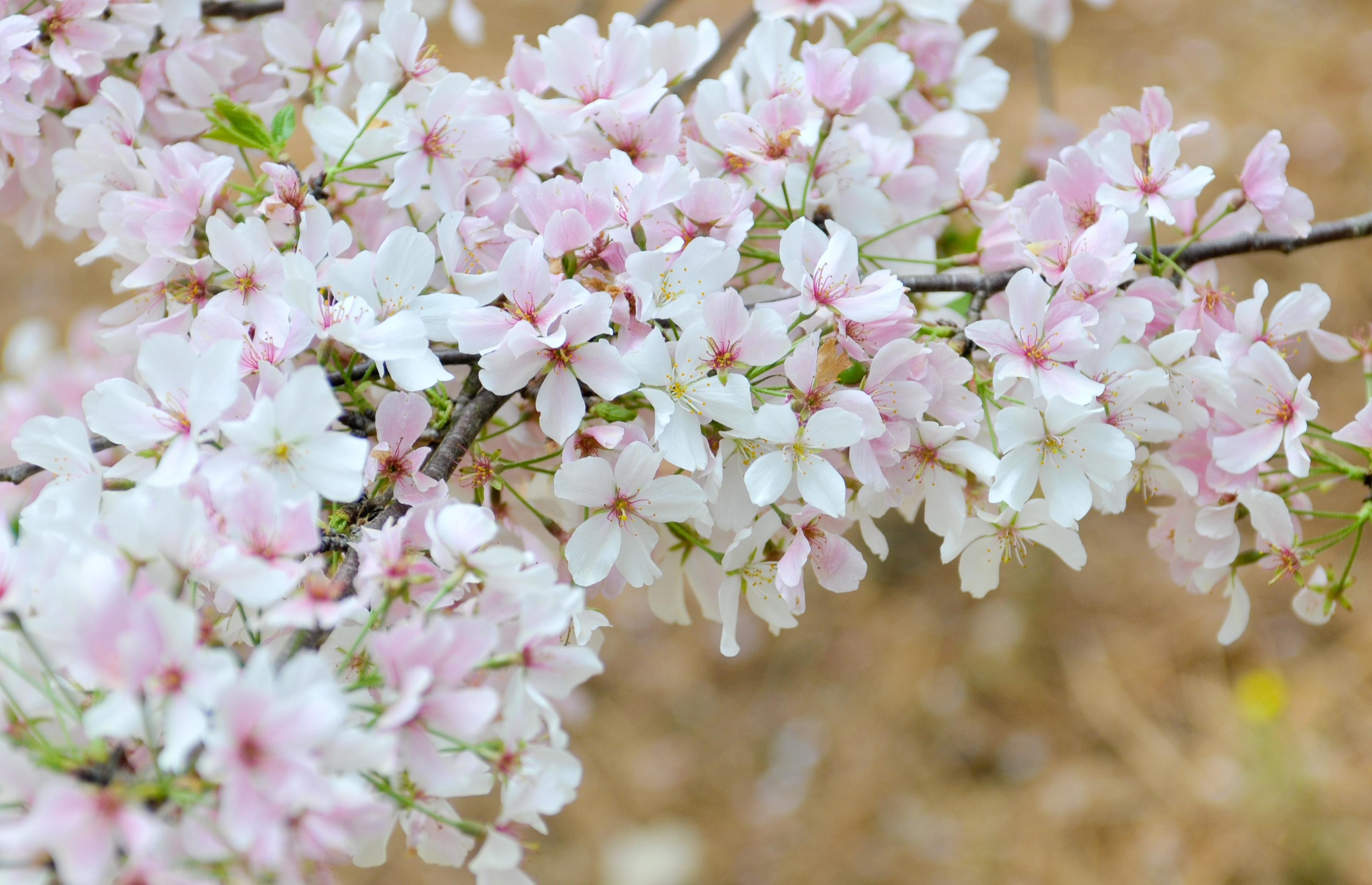 Ảnh hoa Anh đào Nhật Bản