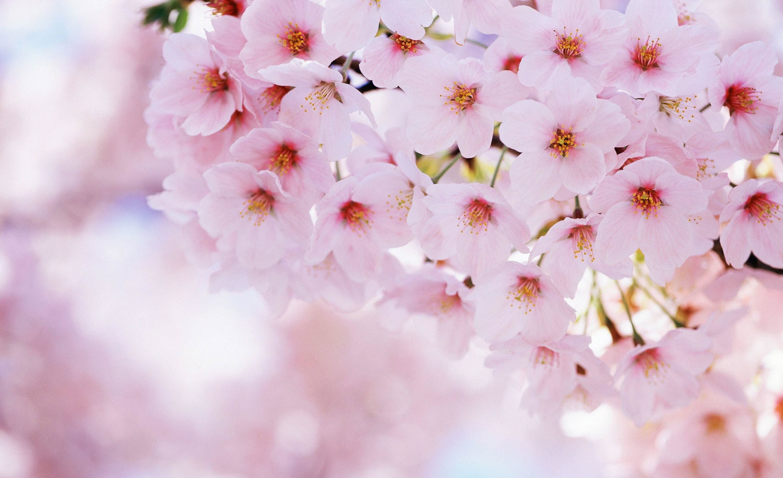 Ảnh hoa Anh Đào Nhật đẹp