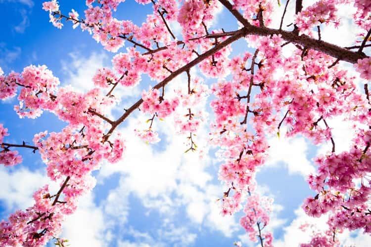 Ảnh hoa Anh Đào ở Nhật Bản cực đẹp