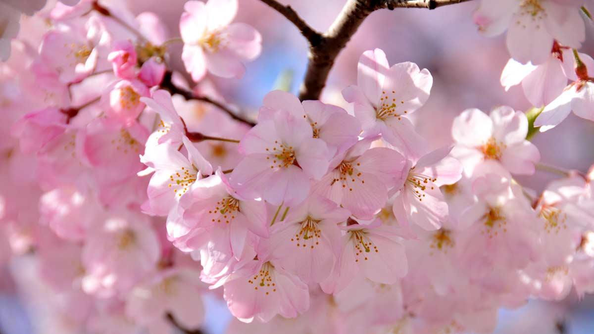 Ảnh hoa Anh Đào ở Nhật Bản đẹp