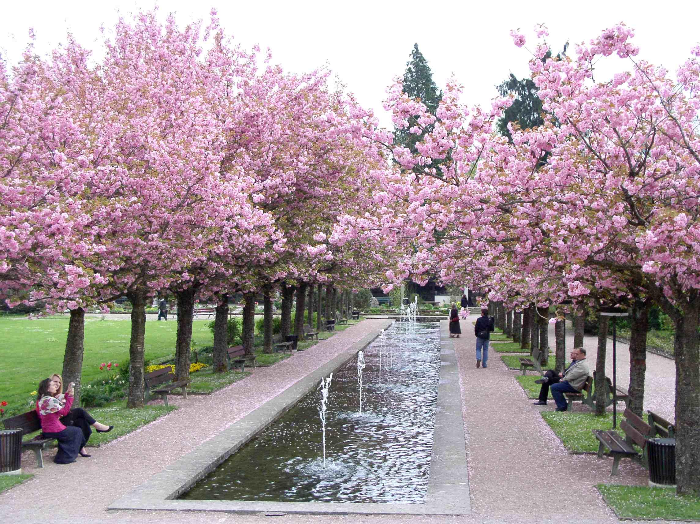 Ảnh những cây hoa Anh Đào Nhật Bản đẹp