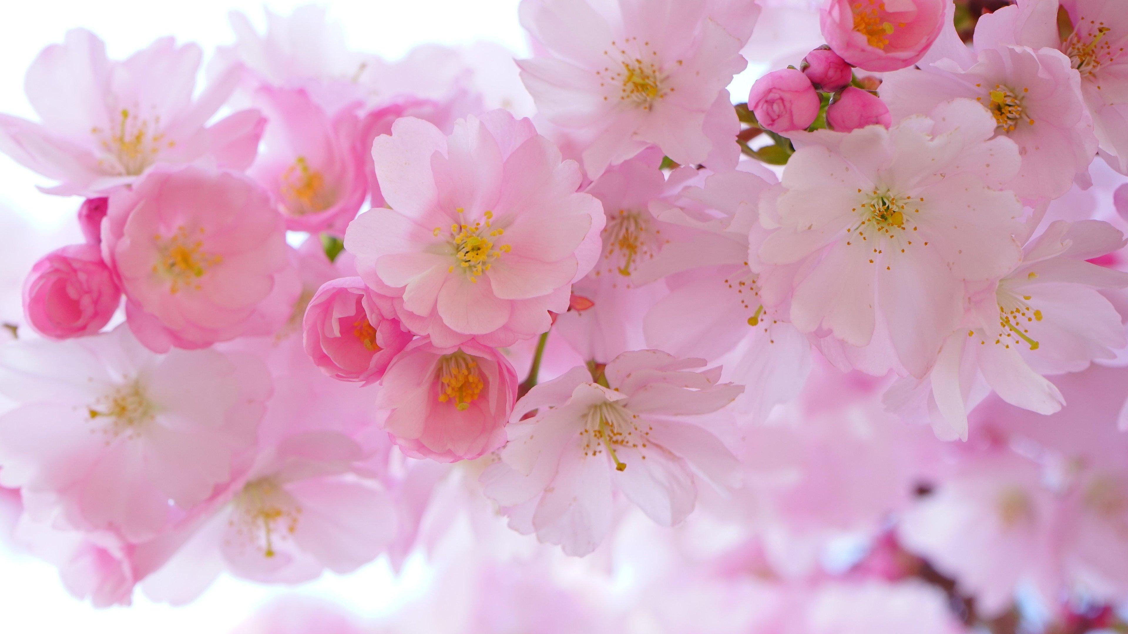 Bông hoa Anh Đào Nhật