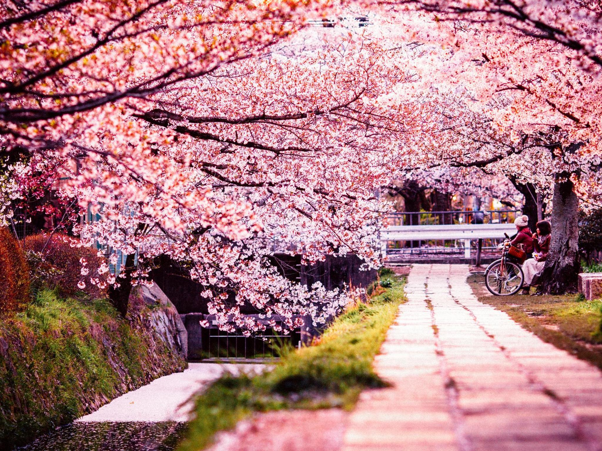 Con đường hoa anh đào Nhật Bản đẹp