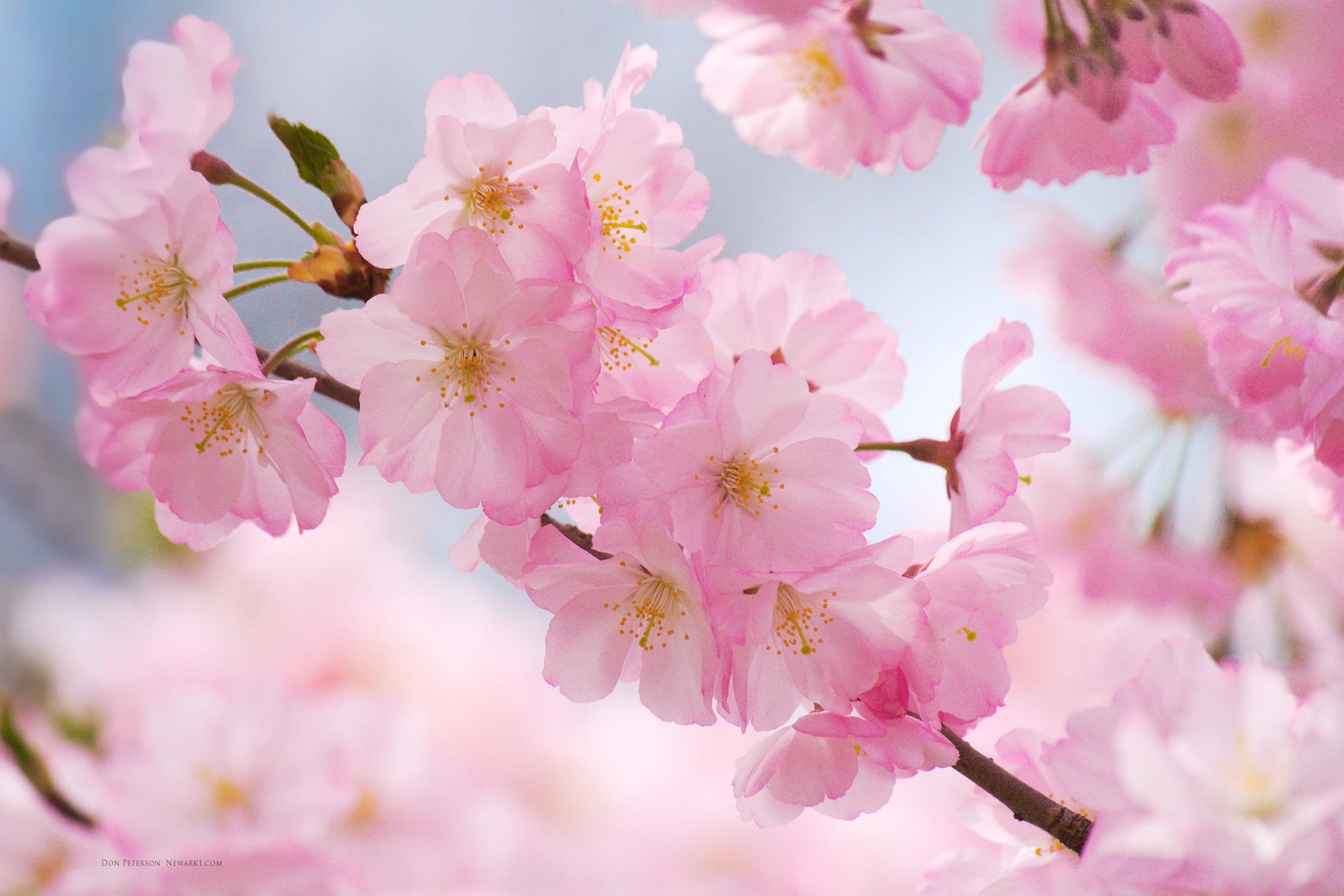Hình ảnh cành hoa Anh Đào Nhật Bản đẹp