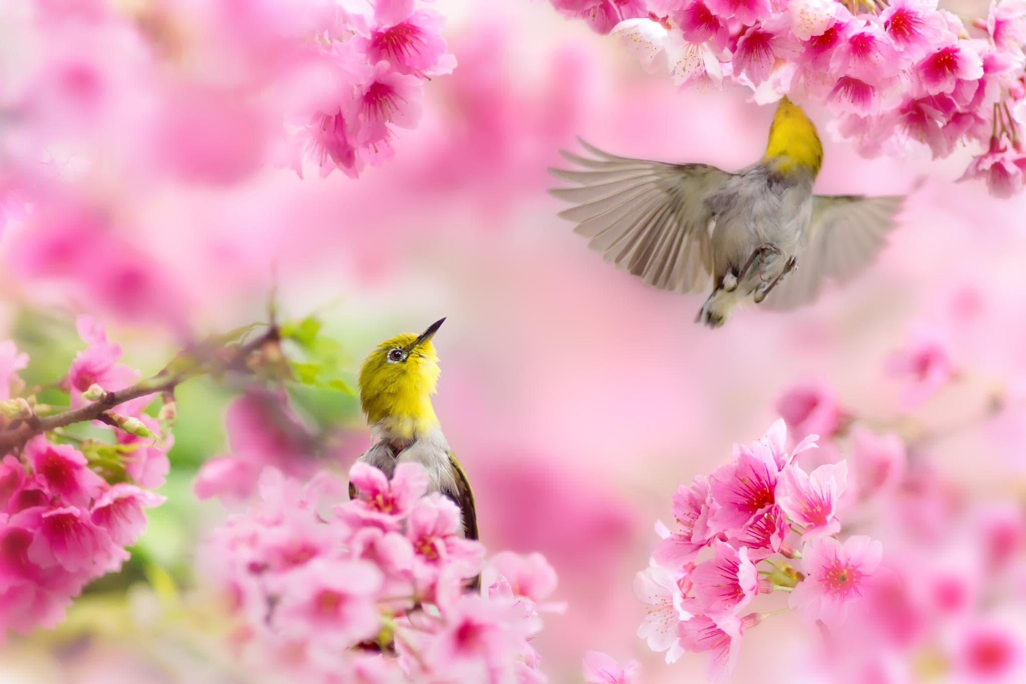 Hình ảnh chim và cành Đào