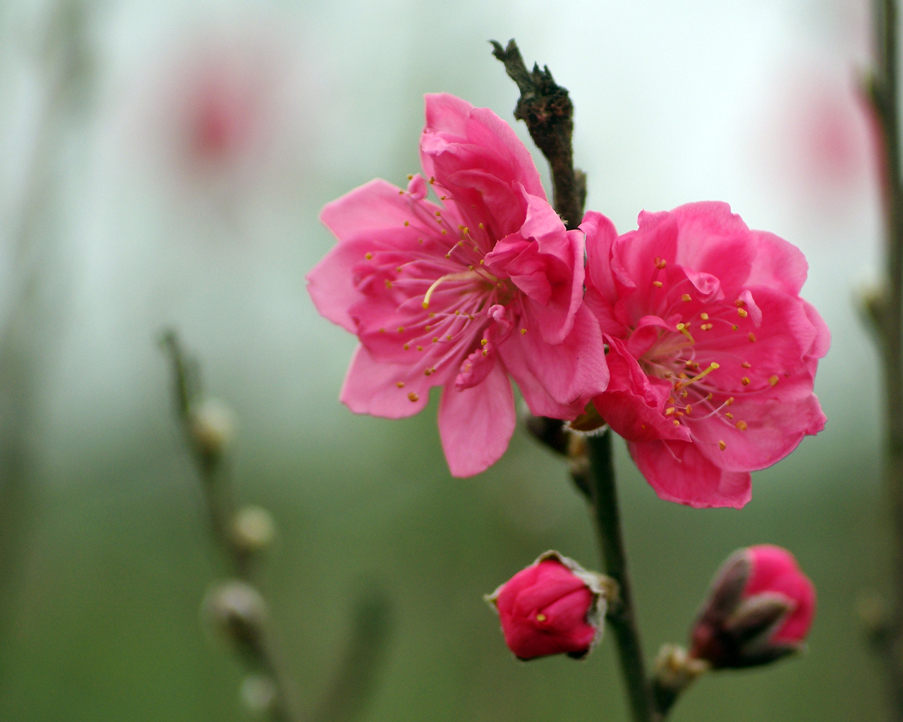 Hình ảnh Đào đẹp trong vườn