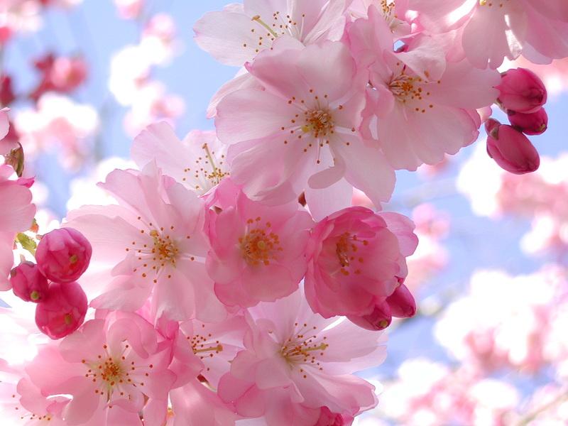 Hình ảnh đẹp mùa hoa Anh Đào Nhật Bản đẹp