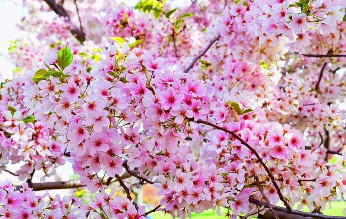 Hình ảnh đẹp về hoa Anh Đào ở Nhật Bản