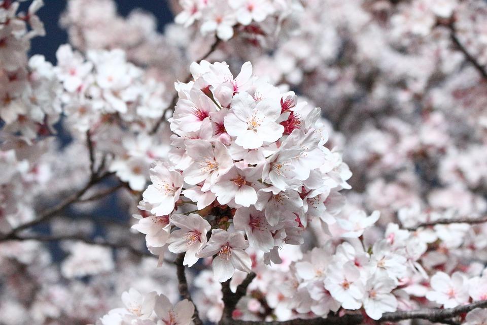 Hình ảnh đẹp về hoa Anh Đào
