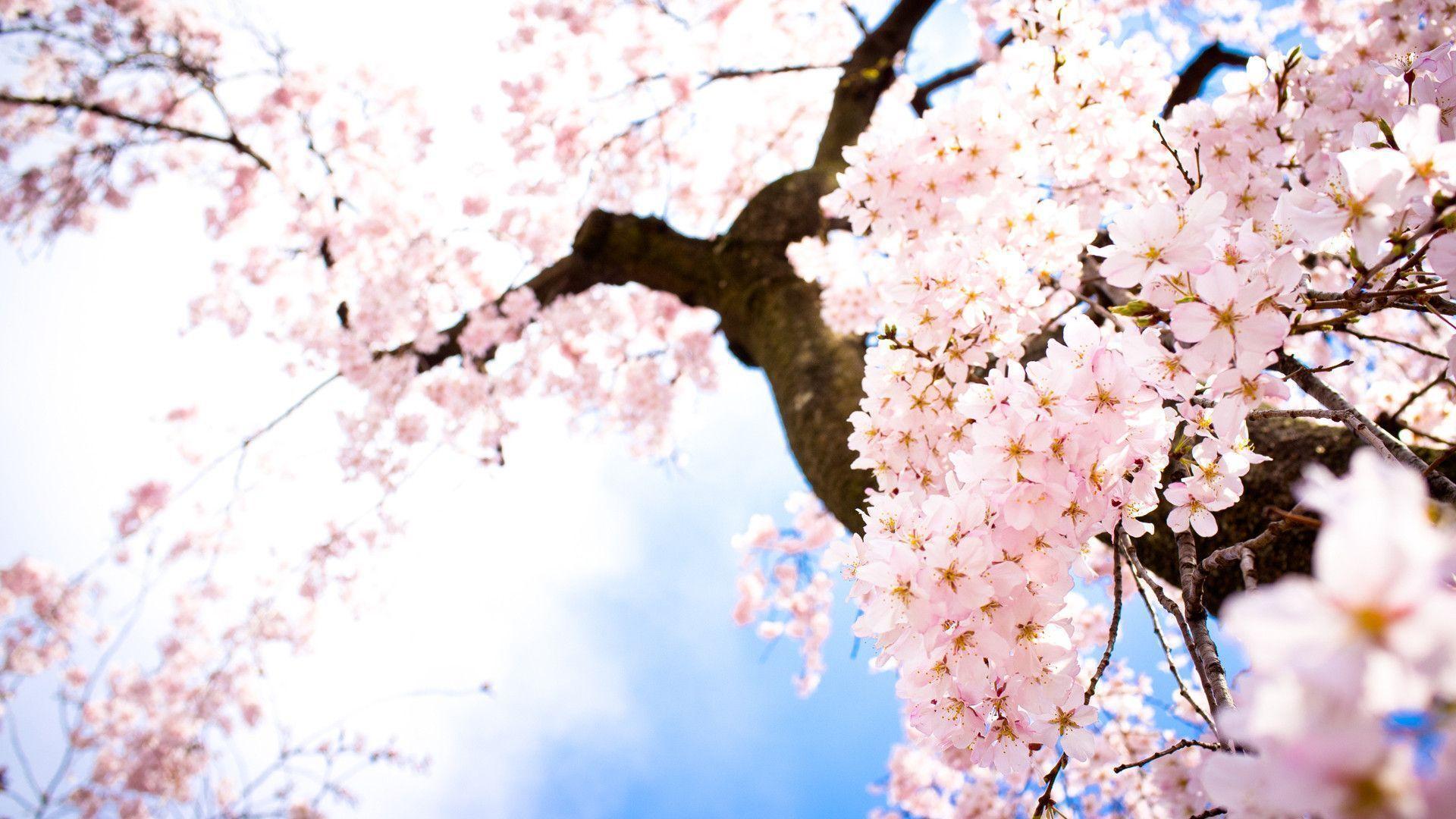 Hình ảnh hoa Anh Đào cực đẹp ở Nhật Bản