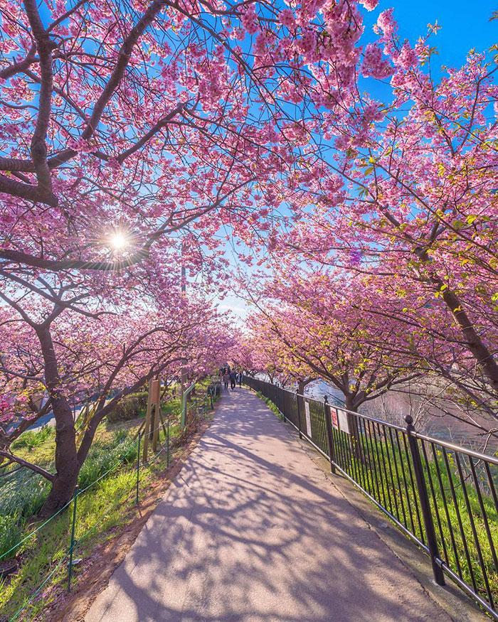 Hình ảnh hoa Anh đào cực đẹp