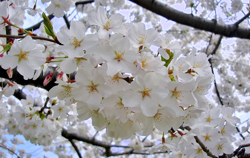 Hình ảnh hoa Anh Đào đẹp nhất ở Nhật Bản