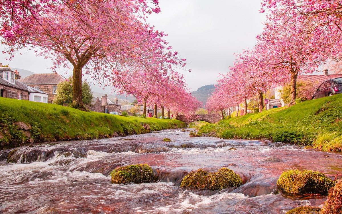 Hình ảnh hoa Anh Đào Nhật Bản bên suối