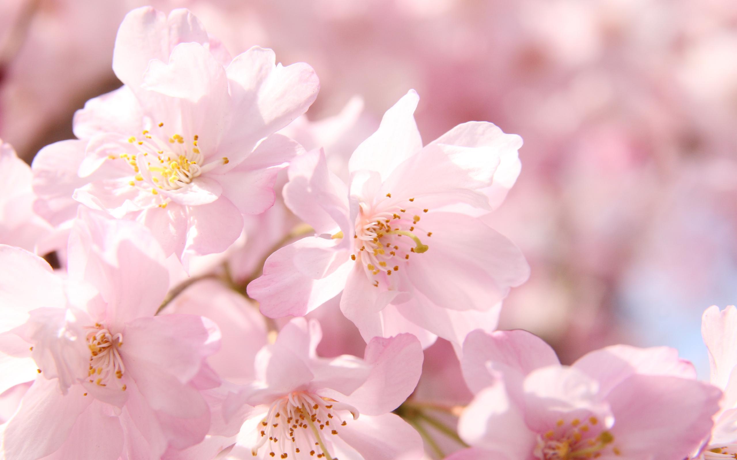 Hình ảnh hoa Anh Đào Nhật Bản đẹp rực rỡ