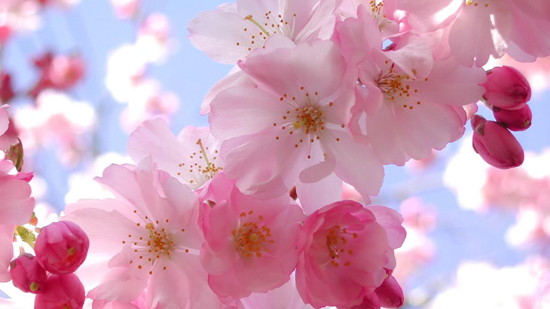 Hình ảnh hoa Anh Đào Nhật Bản đẹp