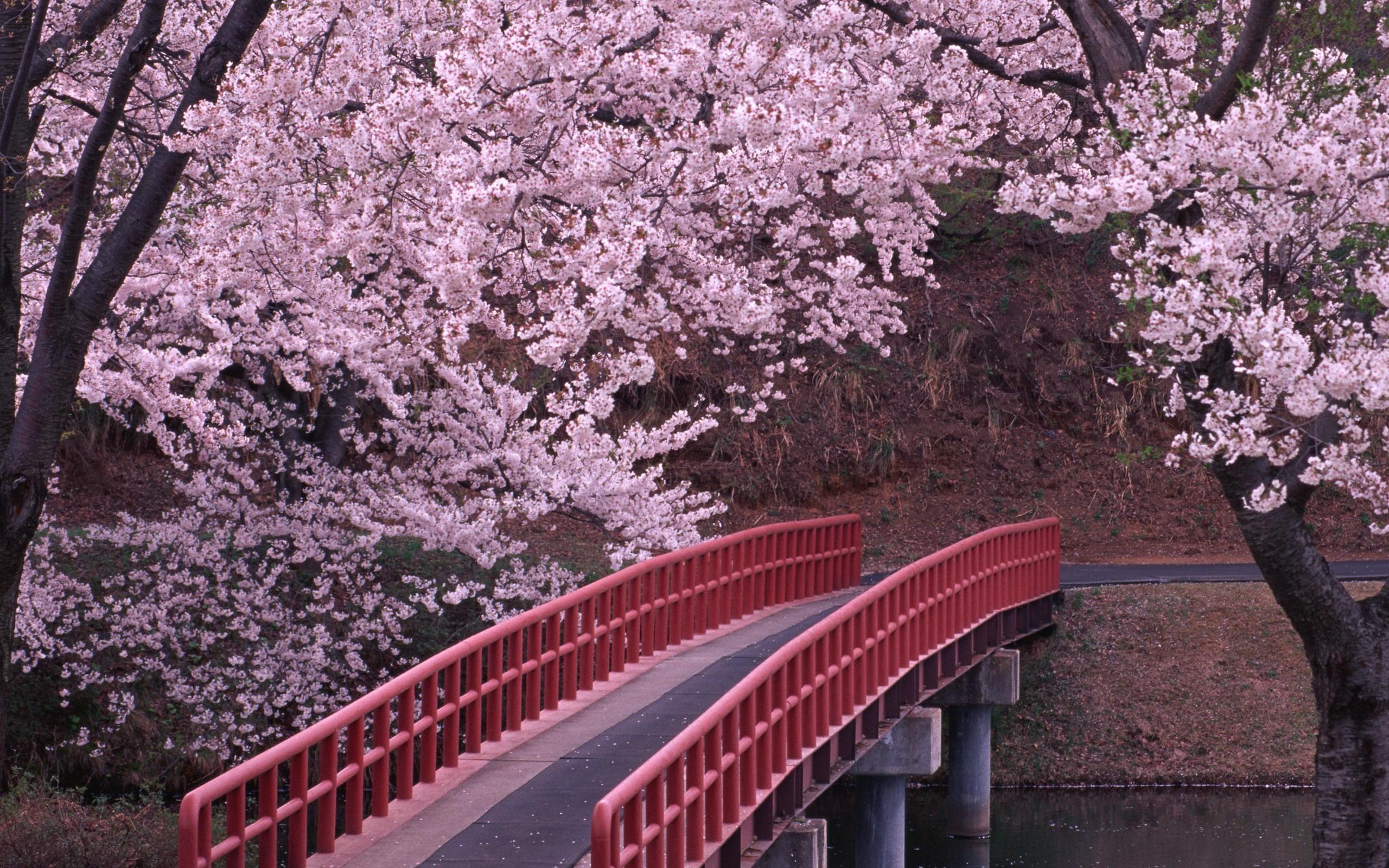 Hình ảnh hoa Anh Đào Nhật Bản