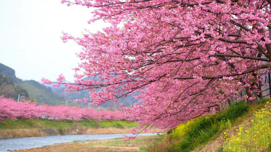 Hình ảnh hoa Anh Đào ở Nhật Bản đẹp nhất