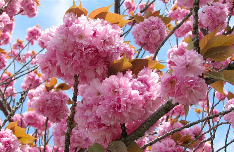 Hình ảnh hoa Anh Đào tại Nhật Bản đẹp nhất