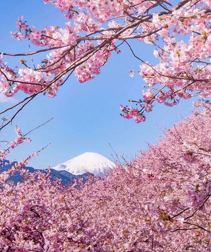 Hình ảnh hoa Anh Đào