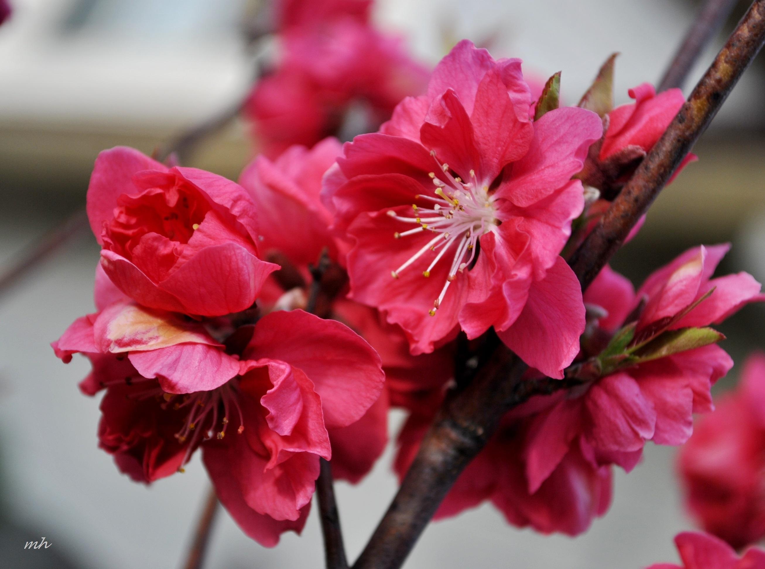 Hình ảnh Hoa đào đỏ thắm