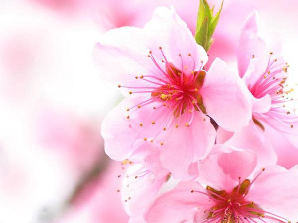 Hình ảnh hoa Đào hồng