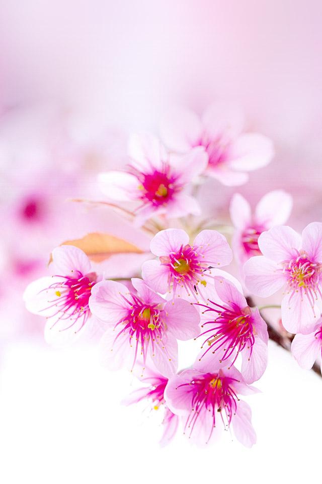 Hình ảnh Hoa đào tươi sắc