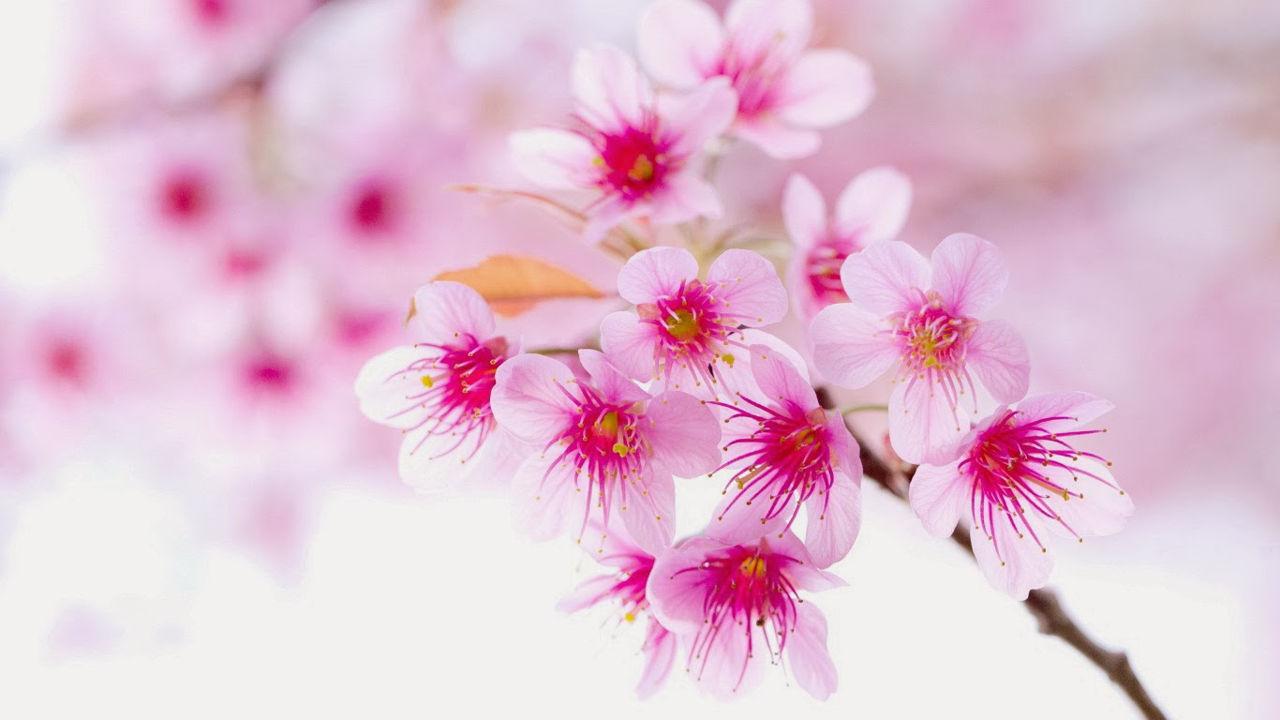 Hình ảnh hoa Đào tuyệt đẹp