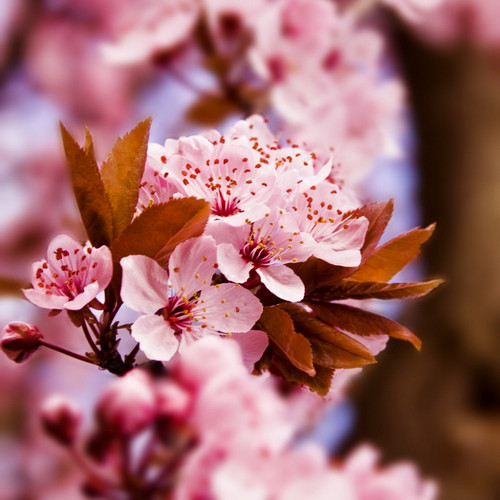 Hình ảnh hoa lá Đào
