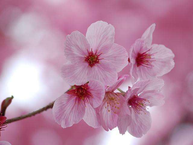 Hình ảnh mùa hoa Anh Đào đẹp