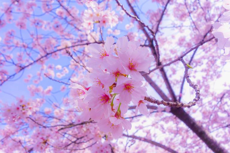 Hình ảnh mùa hoa Anh Đào