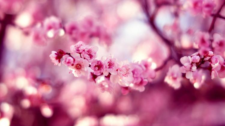 Hình ảnh vườn Đào hồng
