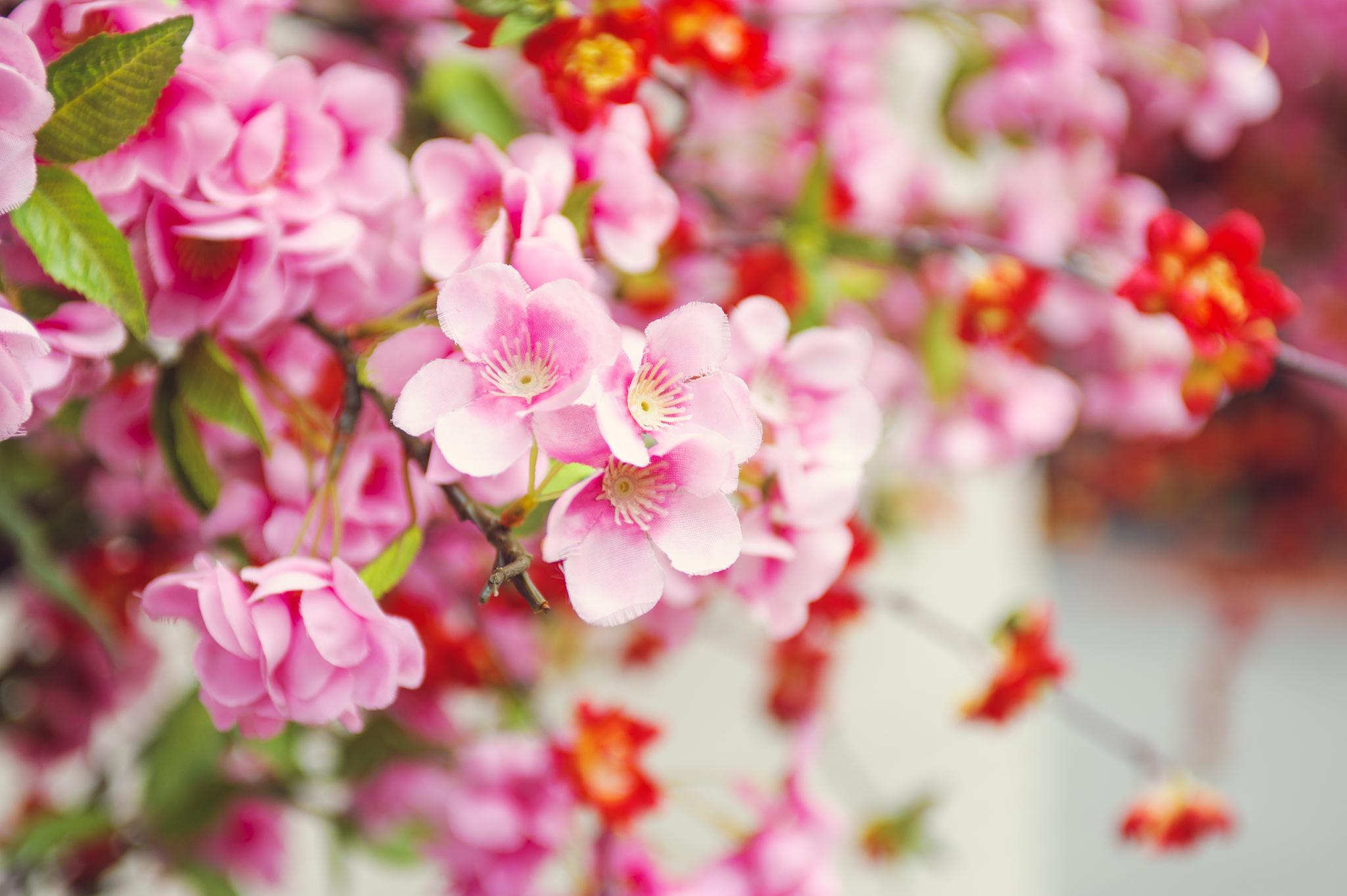 Hình ảnh vườn Đào lai trắng