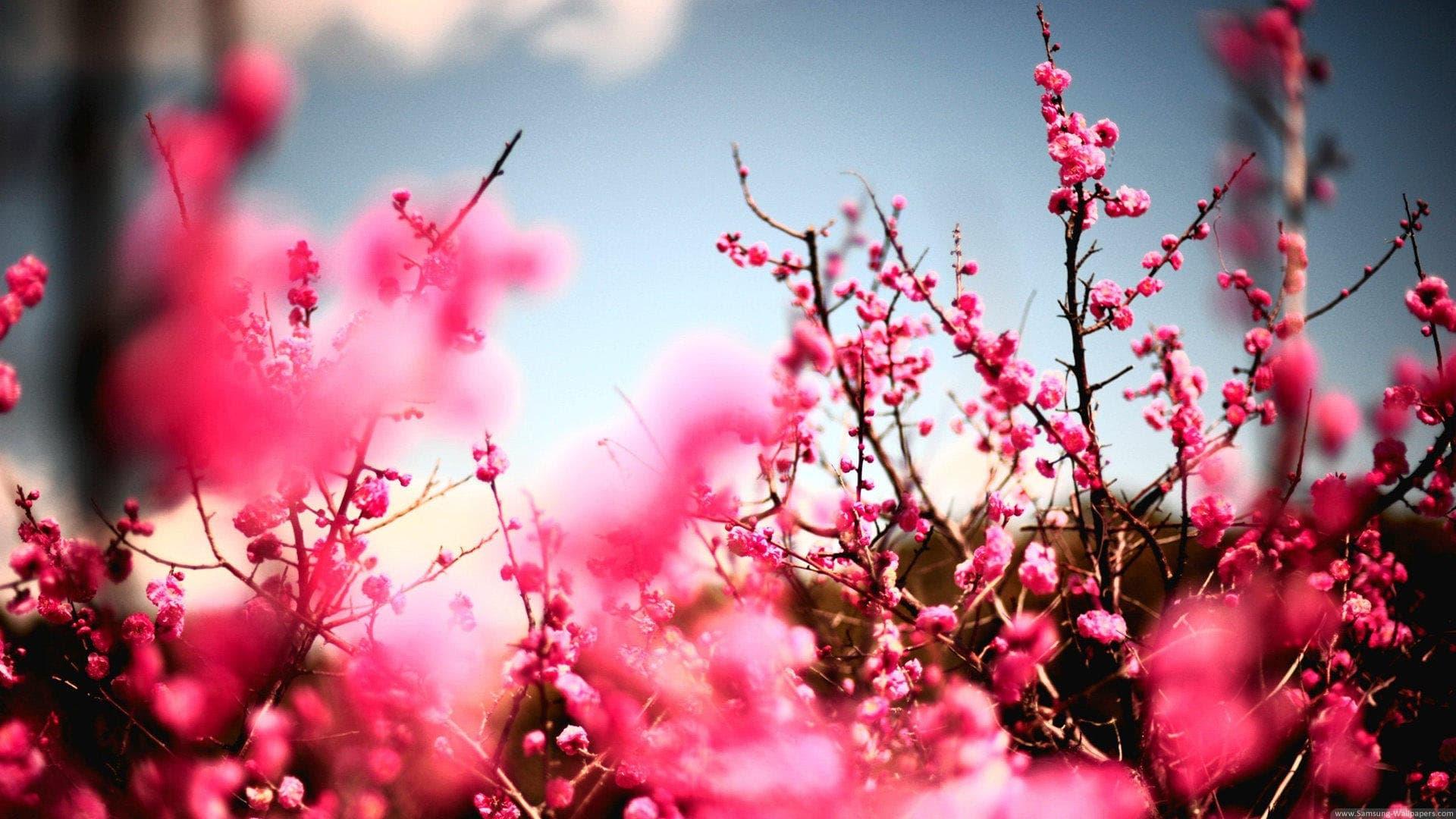 Hình ảnh vườn Đào ngày xuân