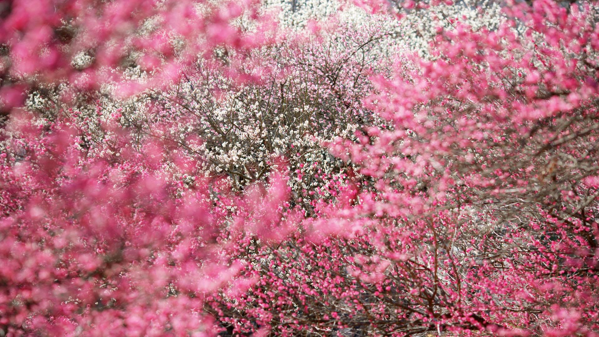 Hình ảnh vườn đào Tết