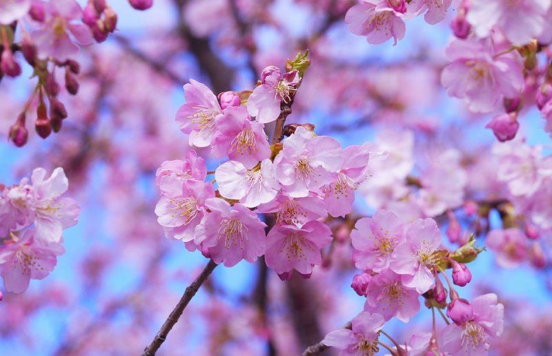 Hình hoa Anh đào cực đẹp