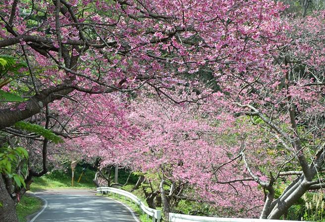 Hình hoa Anh Đào đẹp Nhật Bản
