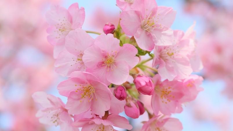 Hình hoa Anh đào đẹp