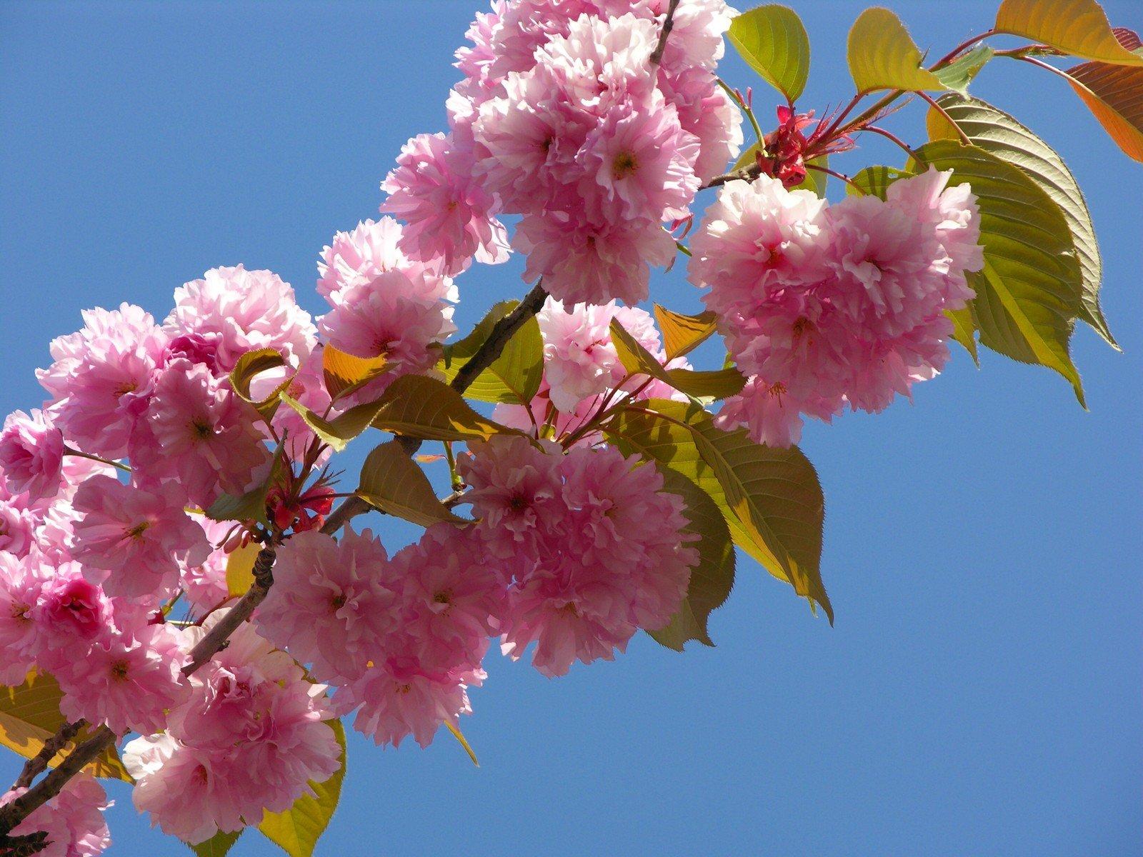 Hình hoa Anh đào Nhật Bản cực đẹp