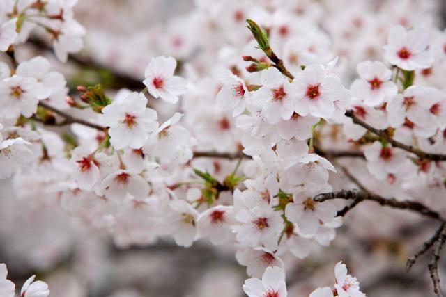 Hình hoa Anh đào Nhật Bản đẹp
