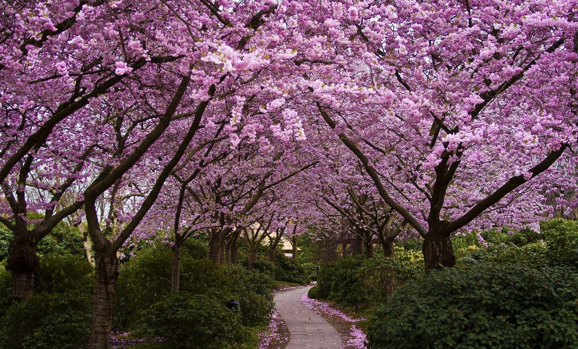 Hình hoa Anh Đào Nhật Bản nở rộ cực đẹp