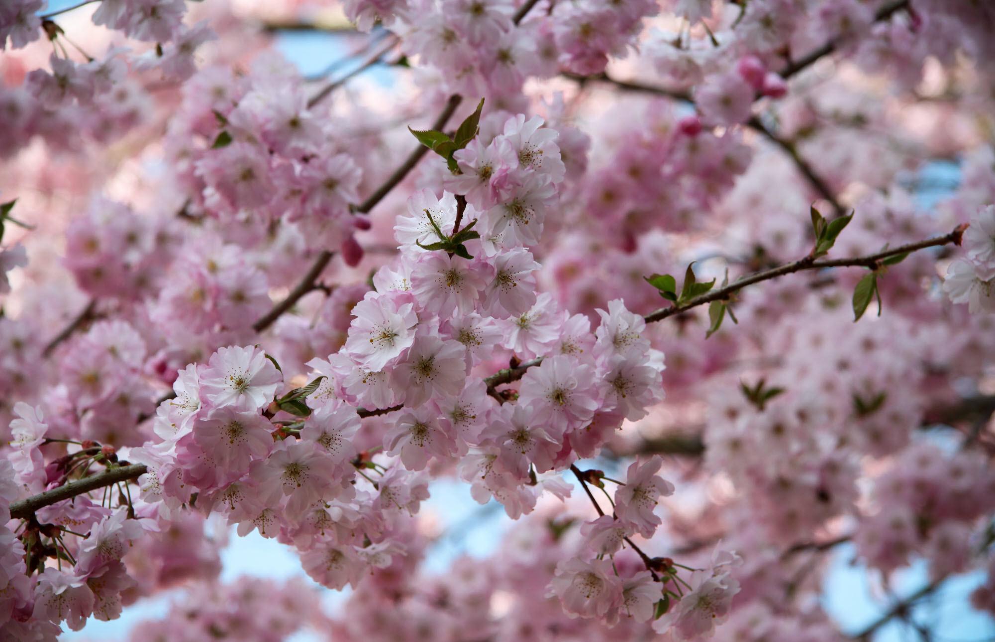 Hình hoa Anh Đào Nhật nở rộ