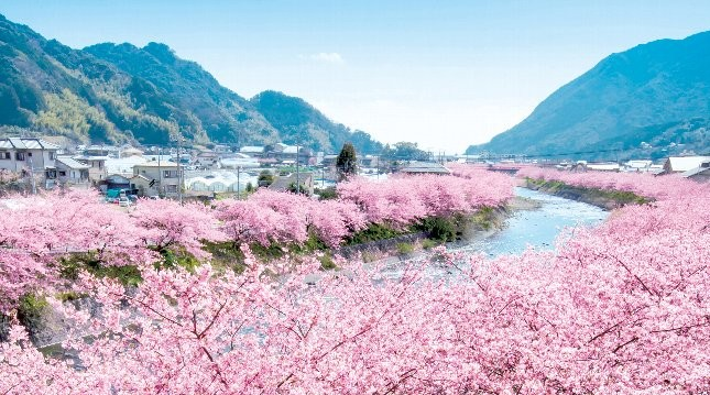 Hình hoa Anh Đào ở Nhật Bản đẹp nhất