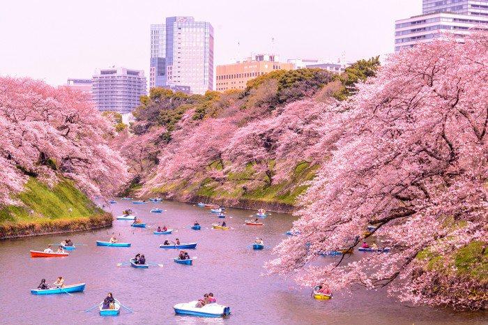 Hình hoa Anh Đào ở Nhật Bản đẹp